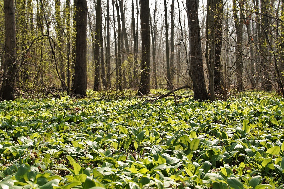 Field of wild garlic - lots of broad green leaves - with tree trunks in the background