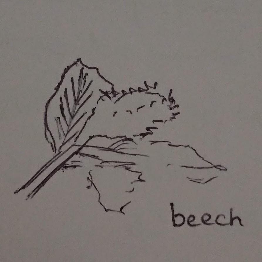 beech leaf and case, illustration
