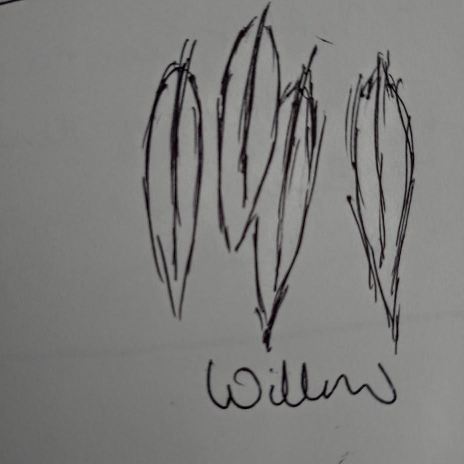 willow leaves, illustration