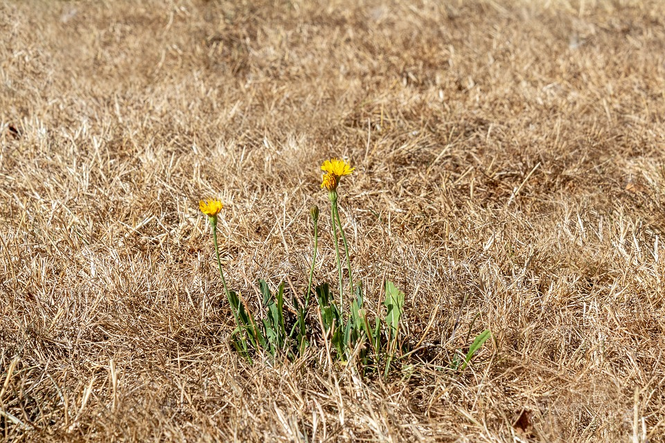 Dry grass in a heat wave, with dandelions in the foreground