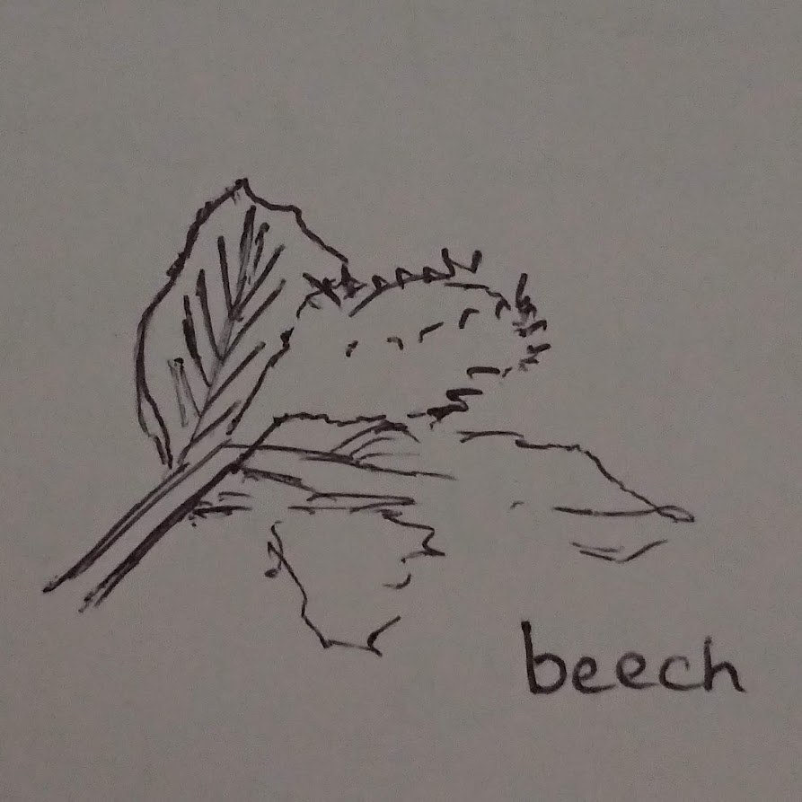 beech leaf and case, illustration