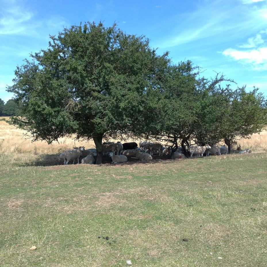 sheep sheltering in the shade of many hawthorn trees on a very sunny day