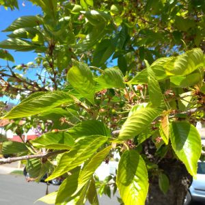 lots of cherry leaves and baby cherry fruits forming