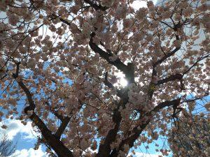 cherry blossom and sky