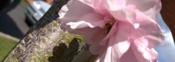 single cherry blossom, pale pink