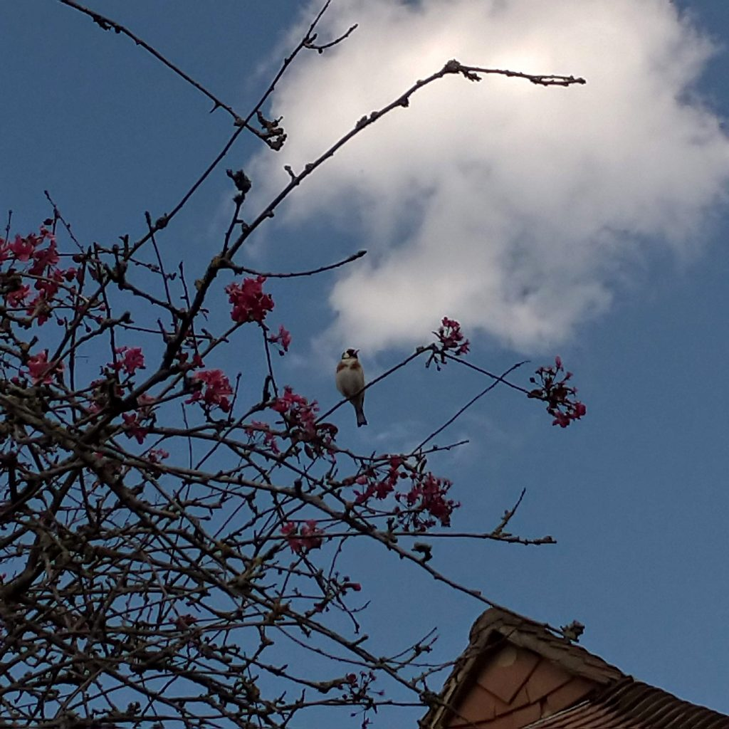 A small bird with black markings on its face (goldfinch) in a tree with pink blossoms, blue sky with fluffy white clouds and roof of a house in the background