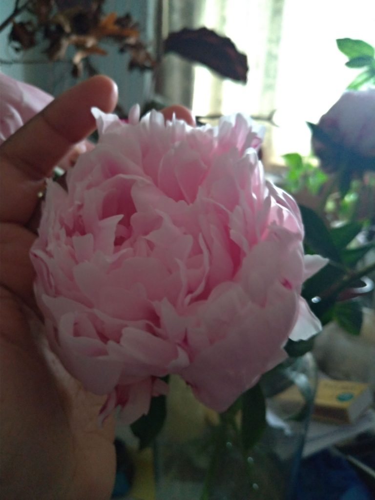 Rose pink peony in my hand