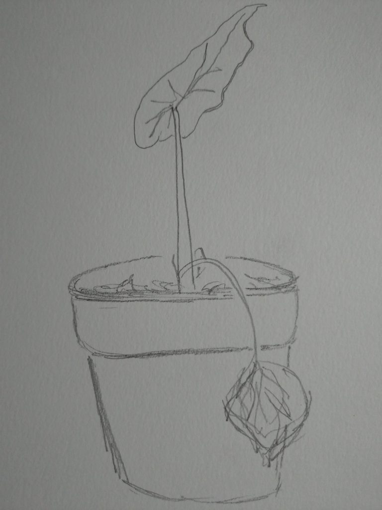 A pointy leaf on a short stalk emerges from a pot, a dying leaf falls over the side, still attached.