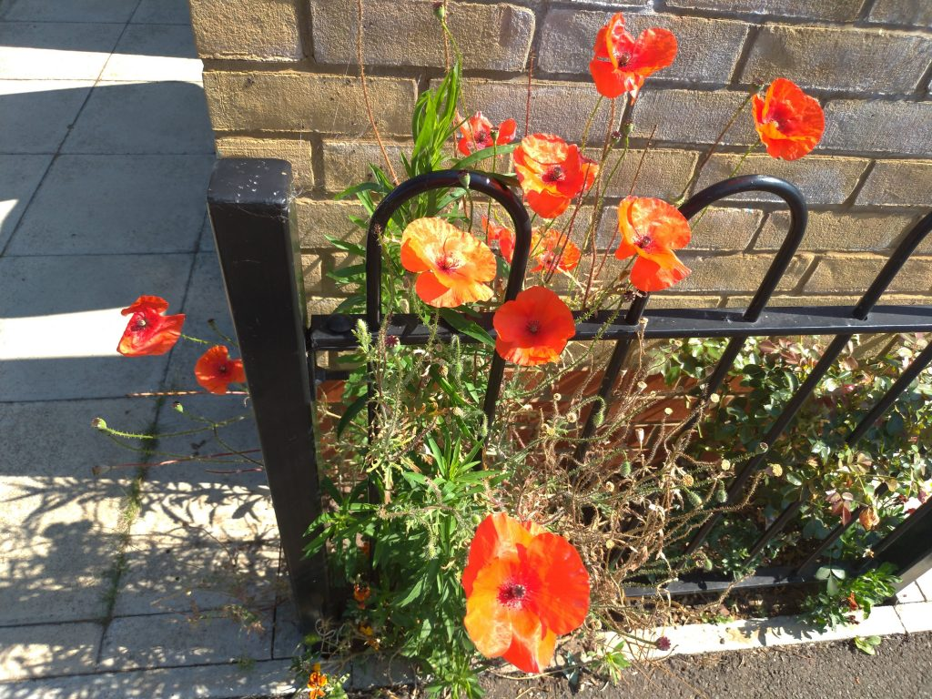 Bright orange-red poppies in bloom in between a tan brick wall and a black iron-wrought railing, it's a sunny day so there are beautiful shadows on the ground cast by the spiky foliage.