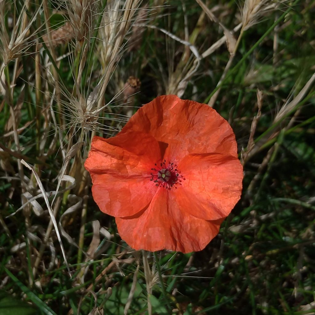 Fiery orange-red poppy flower head, surrounded by leaves of rich green grass and pale sand-coloured grass flowers.