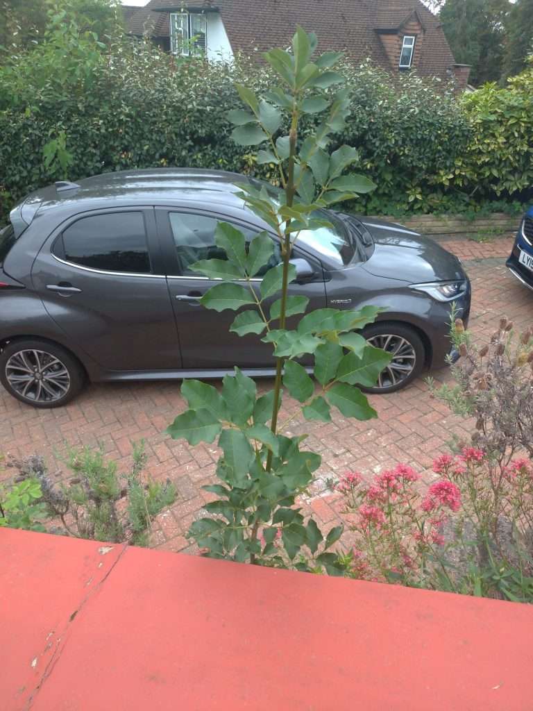 an ash sapling between a brick-red slab and a dark grey car on a red brick drive