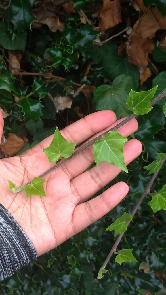 young ivy in my hand near a hedge of holly