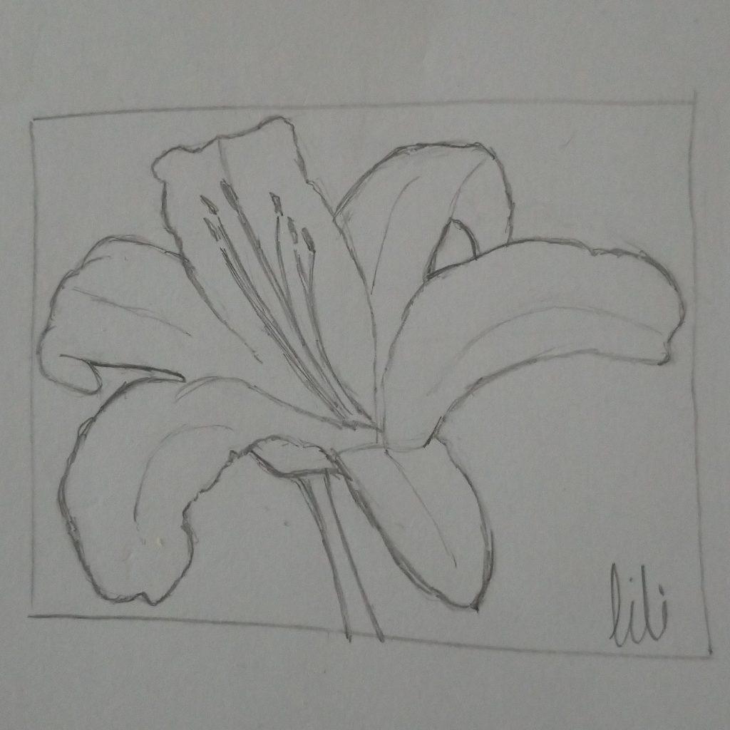 Lily flower head, sketch
