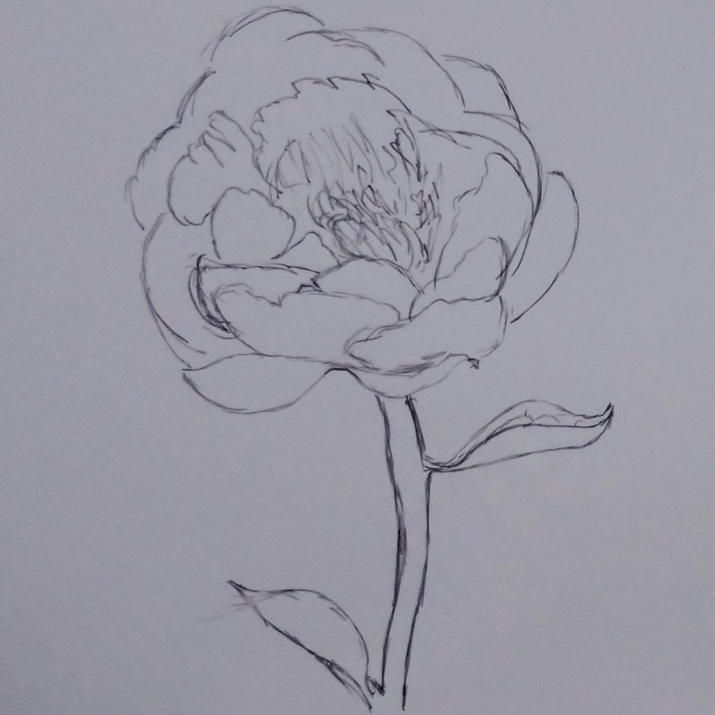single-stemmed peony, in carbon pencil