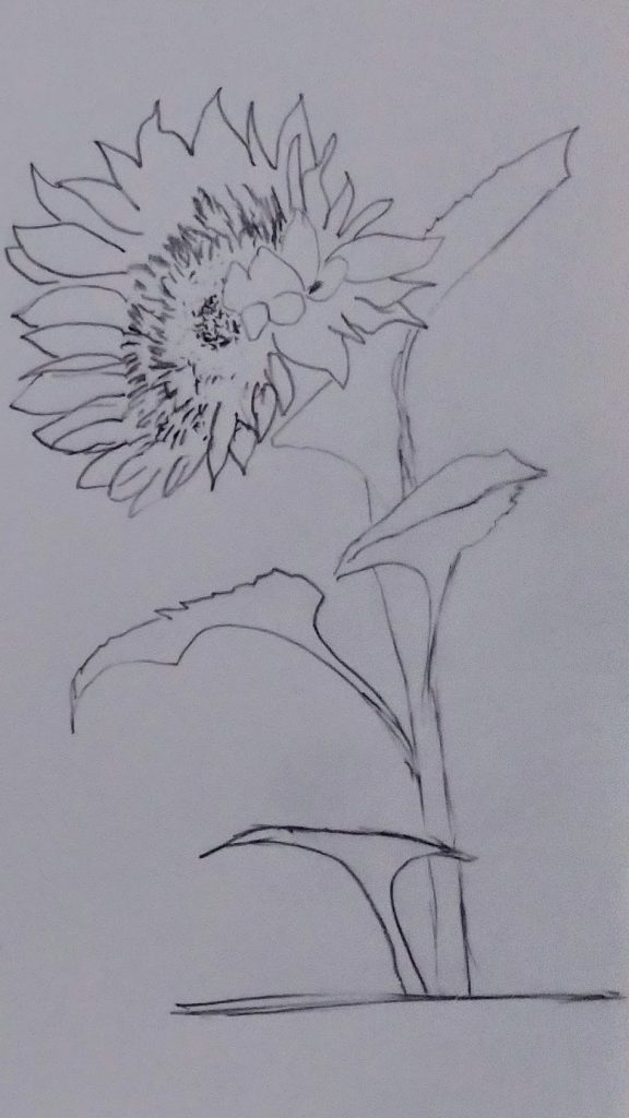 sunflower with detailed head and 4 leaves in a dark carbon pencil